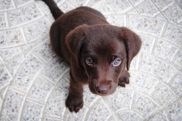 labrador biszkoptowy szczeniak