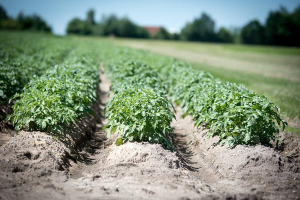 dolistne nawożenie ziemniaków