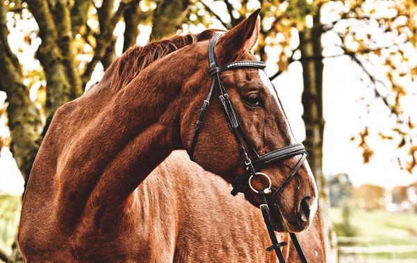 ogłowie dla konia